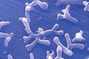 Молочные бактерии