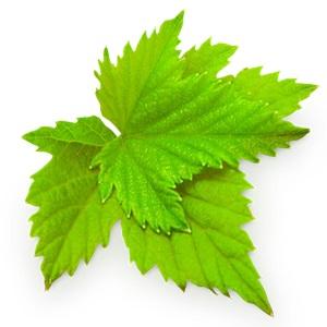 Листья смородины
